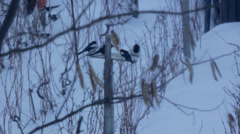Birds eating, Snowy background. Stock Footage