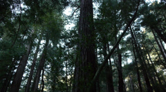 Muir Woods. Redwood Tree Tilt Down Stock Footage