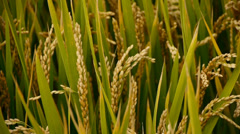 closeup of asian golden rice paddy in wind,wait for the harvest. - stock footage