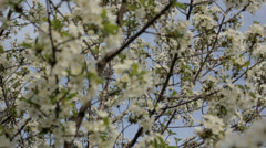 Cherry Flowers 3 Stock Footage