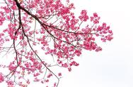 Stock Photo of wild himalayan cherry on white backgorund