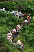 a shepherd with a caravan of donkeys carrying supplies in the himalayas - stock photo