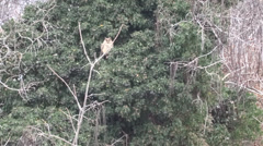 Long-eared Owl on a branch tree, Eurasian Eagle-Owl, carnivorous birds of prey Stock Footage