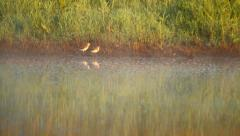 Couple of birds (waders, shorebirds) walking near the swamp in summer Stock Footage