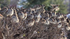 Flock of disheveled sparrows, perching on shaven snowy bush - stock footage