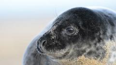 Grey seal pup Stock Footage