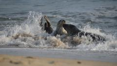 Grey seal courtship fight Stock Footage