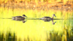 Couple of ducks swimming in the water, sun rays, close-up, Garganey Stock Footage