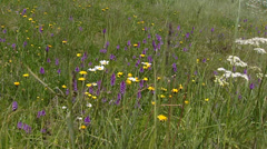 Alpine meadow with orchids, Swiss Alps - full screen Stock Footage