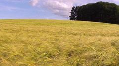 Ripe wheat field. Stock Footage