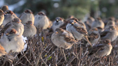 Flock of disheveled sparrows, perching on shaven snowy bush. - stock footage