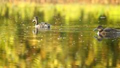 Ducks swimming in summer in the swamp, close-up,  Garganey Stock Footage