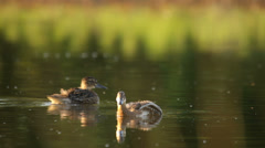Ducks searching for food in the water in the rural landscape, Garganey Stock Footage