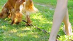 The English Cocker Spaniel sniffing grass on sunny day, adorable brown dog Stock Footage