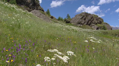 Alpine meadow with orchids, Swiss Alps Stock Footage