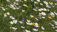 Alpine meadow with daisies, Swiss Alps Stock Footage