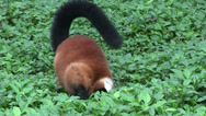 Stock Video Footage of A beautiful red fronted lemur plays in green foliage.