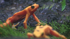 Beautiful orange frogs in the rainforest. Stock Footage