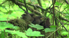 Baby wrens wait in their nest for their mother to return in the forest. - stock footage