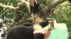 Two capuchin monkeys play around a water spigot. - stock footage