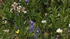 Flowers blooming in alpine meadow, harebell, daisy and silene - full screen Stock Footage