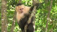 Stock Video Footage of A capuchin monkey sits in a tree.