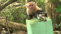 A capuchin monkey drinks water from a spigot. - stock footage