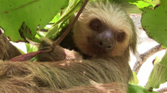 A two toed sloth hangs in a tree. Stock Footage