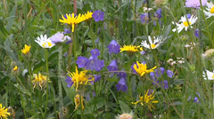 Daisy + Harebell blooming yellow, blue and white in Alpine meadow Stock Footage