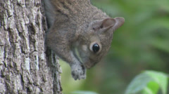 A squirrel in a tree. Stock Footage