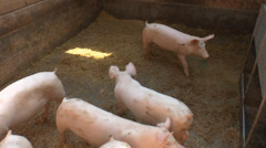 Pigs running in the barn Stock Footage