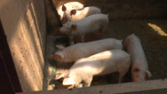Stock Video Footage of pigs running in the barn