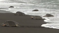 Ridley sea turtles make their way up a beach in mexico. Stock Footage
