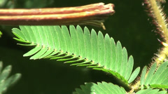 A touch sensitive plant in the jungle reacts to contact. - stock footage