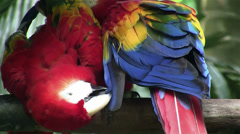 A scarlet macaw parrot preens himself. Stock Footage