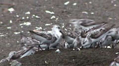 Sandpiper birds peck along the shore. Stock Footage