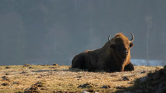 Wild bison relaxing in a glade Stock Footage