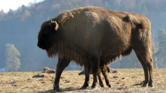 Bison mother feeding the baby calf Stock Footage