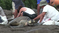 People pictured with olive ridley sea turtles on a beach in Mexico. Stock Footage