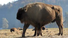 Bison female feeding the veal Stock Footage