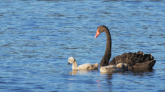 Black swan and cygnets Stock Footage