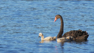 Stock Video Footage of black swan and cygnets