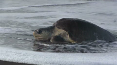 Olive Ridley sea turtle struggles through the surf to lay eggs. Stock Footage