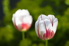 variegated tulips - stock photo