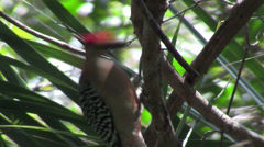 A red bellied woodpecker in a forest. Stock Footage