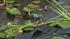 A purple gallinule walks in a swamp. Stock Footage
