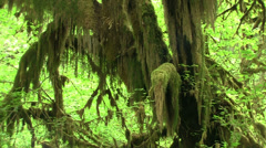 Lush rain forests of the Pacific Northwest. - stock footage