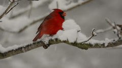 Cardinal in the snow Stock Footage