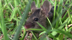A small mouse sits in green vegetation. Stock Footage