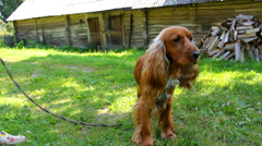 The English Cocker Spaniel looking around in the country, adorable brown dog Stock Footage